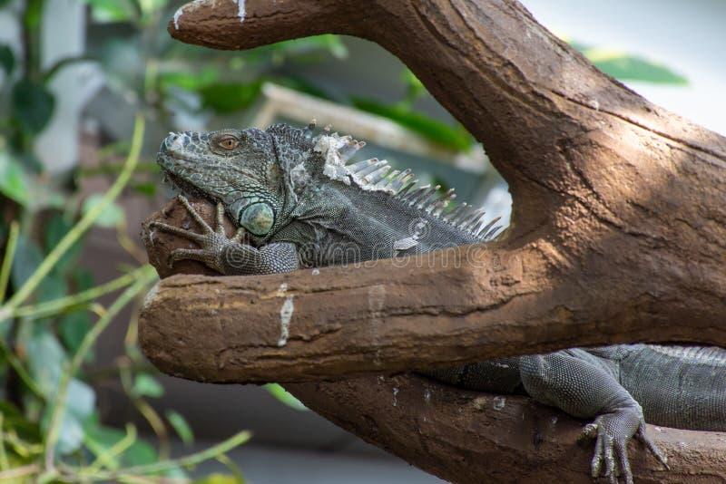 Uma iguana verde da iguana da iguana senta imóvel ao longo de um ramo de árvore na floresta úmida fotografia de stock royalty free