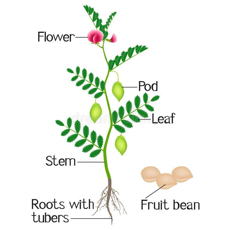Uma ilustração que descreve partes de grãos-de-bico de uma planta ilustração royalty free