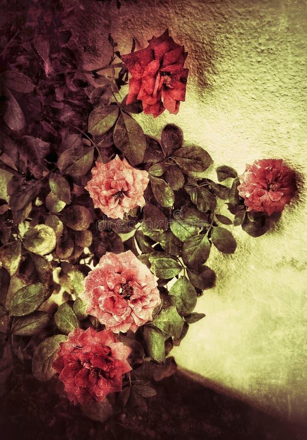 Uma imagem artística do grunge da planta cor-de-rosa com rosas imagem de stock