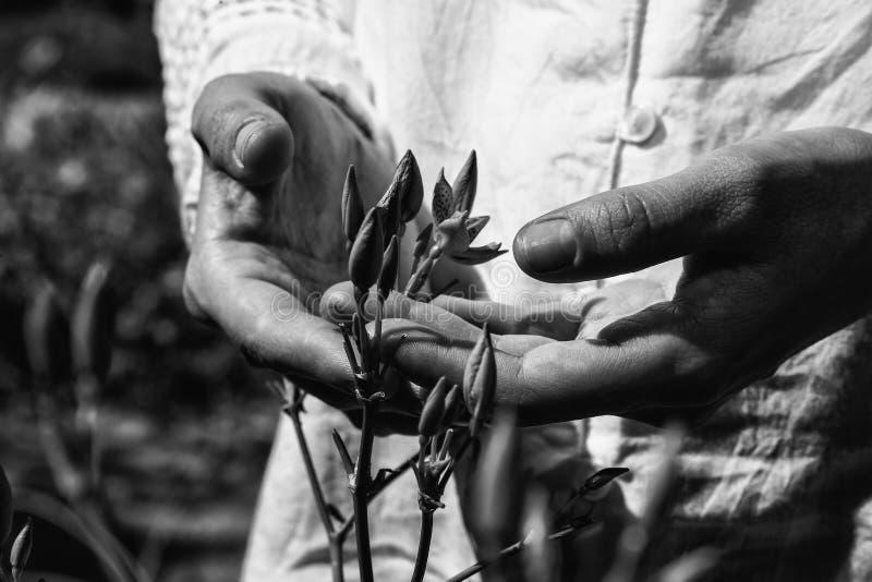 Uma imagem conceptual monocromática de uma planta protegida pelas mãos foto de stock
