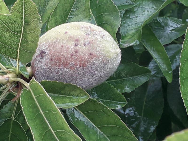 Uma imagem da árvore de amêndoa fotografia de stock royalty free