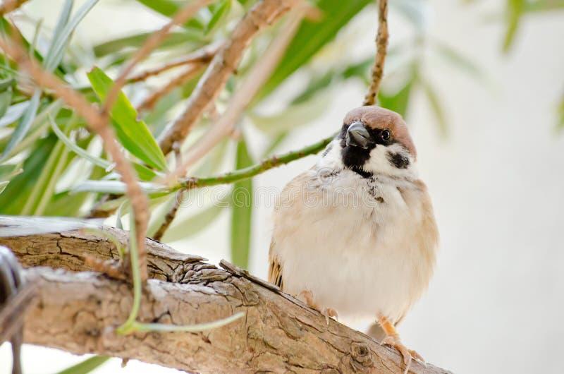 Download Pardal foto de stock. Imagem de verde, árvore, wildlife - 29825132