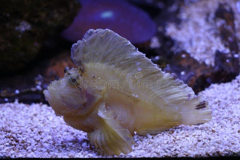 Uma imagem de um peixe exótico em um aquário imagens de stock royalty free