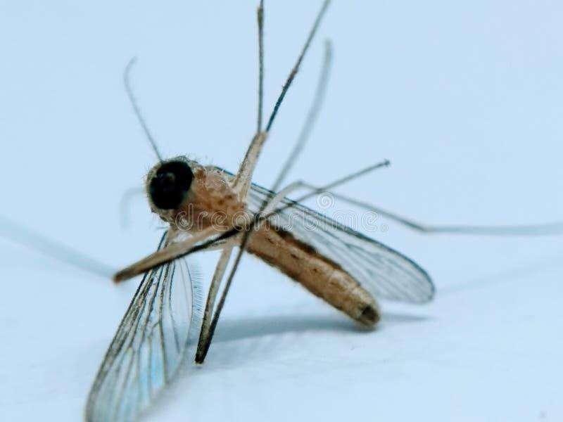 Uma imagem do mosquito isolada no fundo branco fotos de stock royalty free