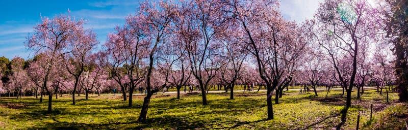 Uma imagem panorâmico de árvores de amêndoa de florescência com as flores cor-de-rosa no Madri na mola fotos de stock royalty free