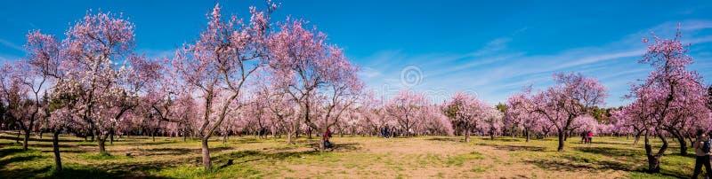 Uma imagem panorâmico de flores cor-de-rosa de florescência da árvore de amêndoa na mola fotografia de stock