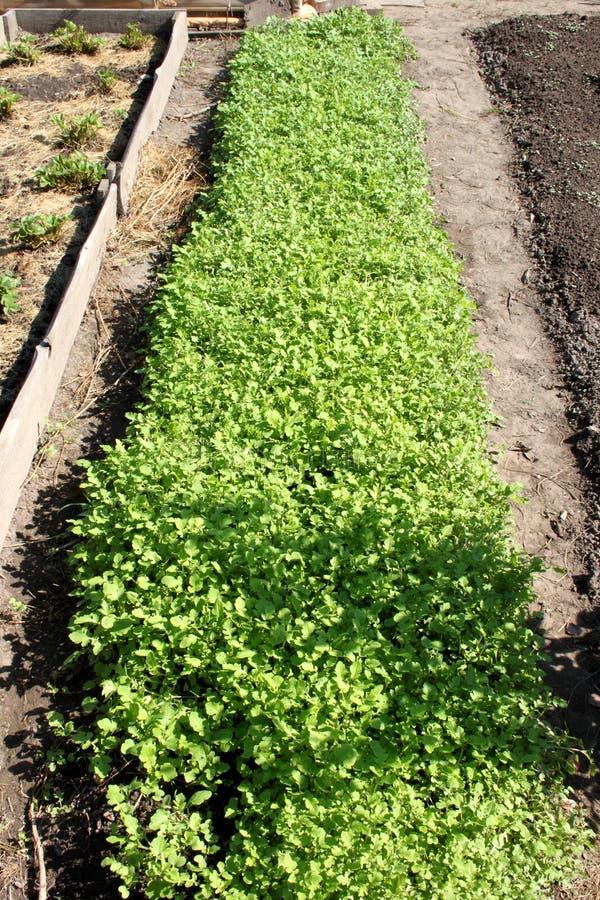 Uma jardim-cama com mostarda em um jardim da dacha fotografia de stock royalty free