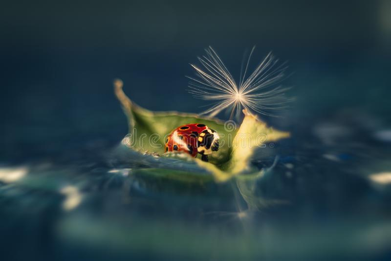 Uma joaninha vermelha bonita com dente-de-le?o do fluff imagens de stock royalty free