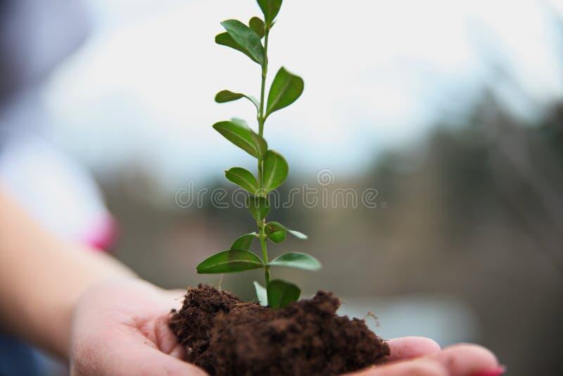 Uma jovem mulher em sua mão guarda plântulas de uma planta verde Criação da Conceito-Re-realização do orçamento e da natureza imagem de stock