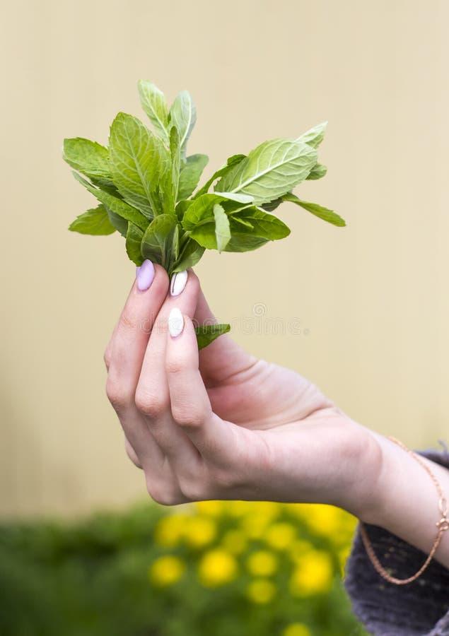 Uma jovem mulher que guarda um ramalhete das folhas de hortelã verdes frescas em sua mão imagens de stock royalty free
