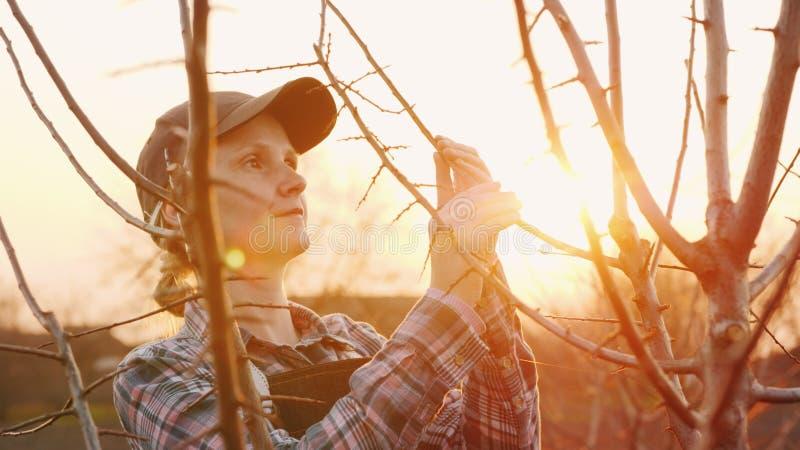 Uma jovem mulher trabalha em seu jardim no por do sol Inspeciona tiros novos de uma árvore imagens de stock royalty free