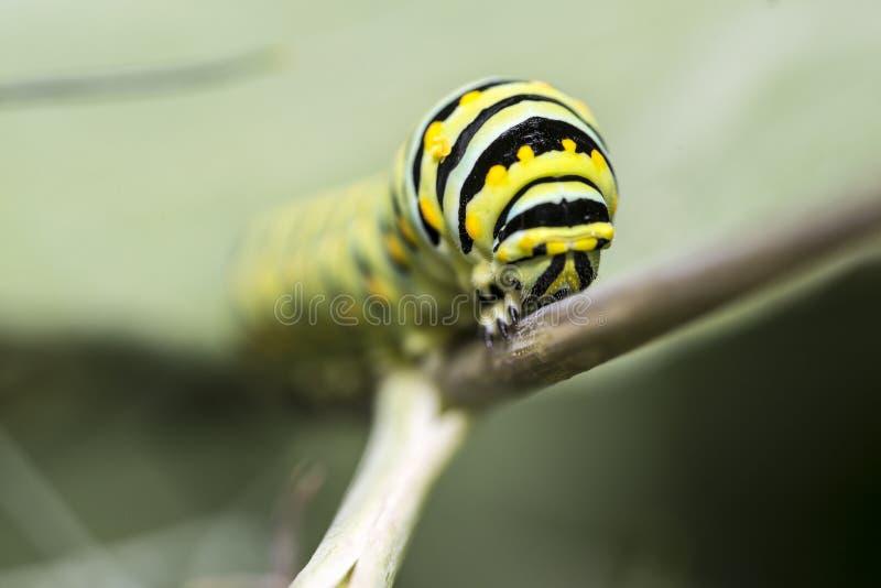 Uma lagarta f da borboleta de monarca (plexippus do Danaus) imagem de stock royalty free