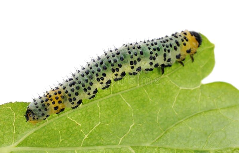 Uma lagarta verde farpada come uma folha do corinto fotografia de stock