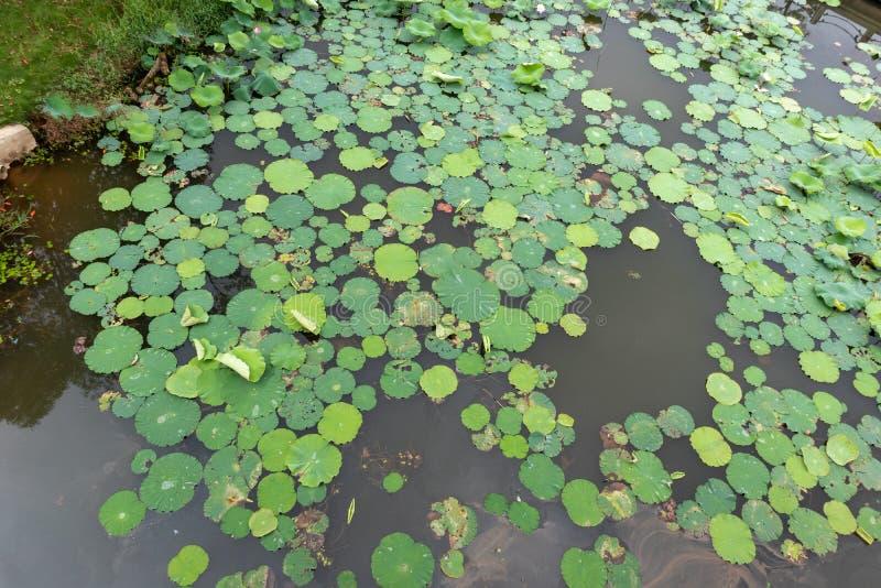 Uma lagoa da folha dos lótus foto de stock royalty free