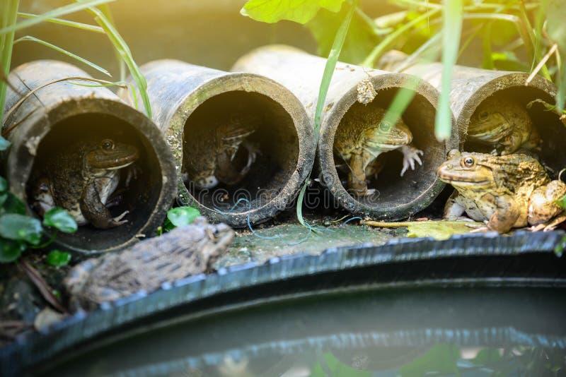 Uma lagoa da rã cria uma casa de um cilindro de bambu fotos de stock