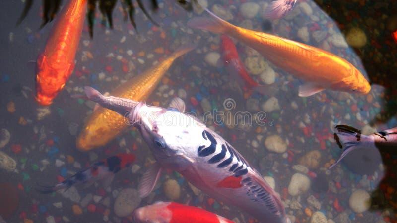 Uma lagoa de peixes no jardim foto de stock royalty free