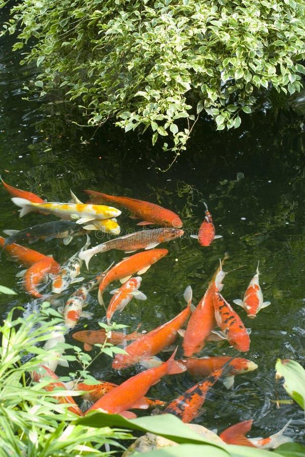 Uma lagoa de peixes no jardim da porcelana imagens de stock royalty free