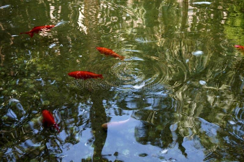 Uma lagoa em que os peixes vermelhos nadam fotos de stock