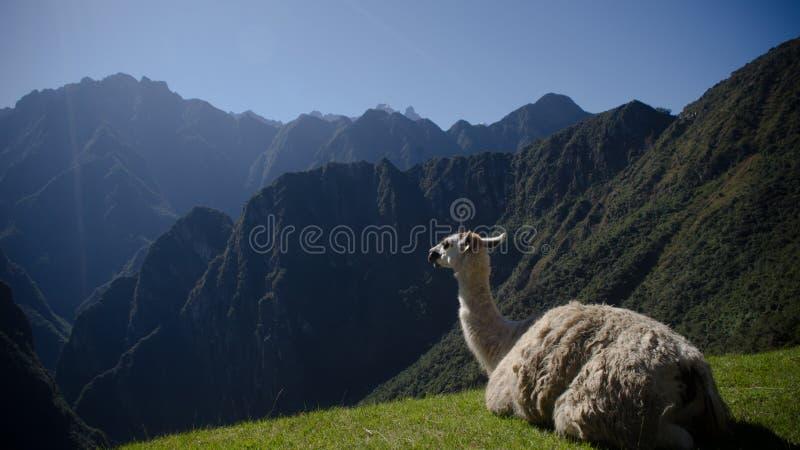 Uma Lama bonita do Machu Pichu imagem de stock