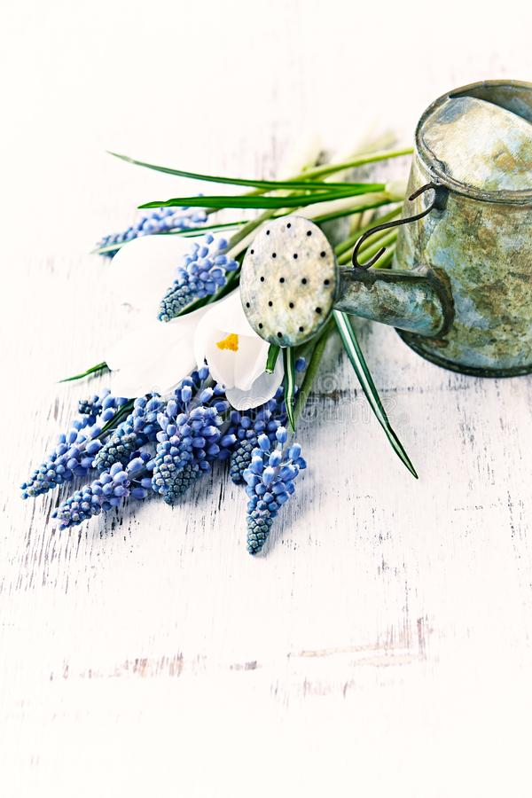 Uma lata molhando do vintage pequeno e flores da mola fotografia de stock royalty free