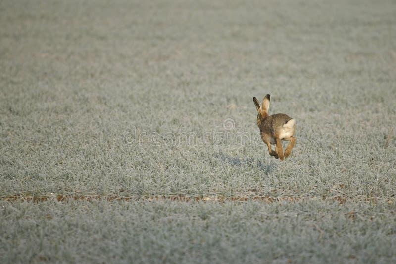 Uma lebre em uma manhã gelado fotos de stock royalty free