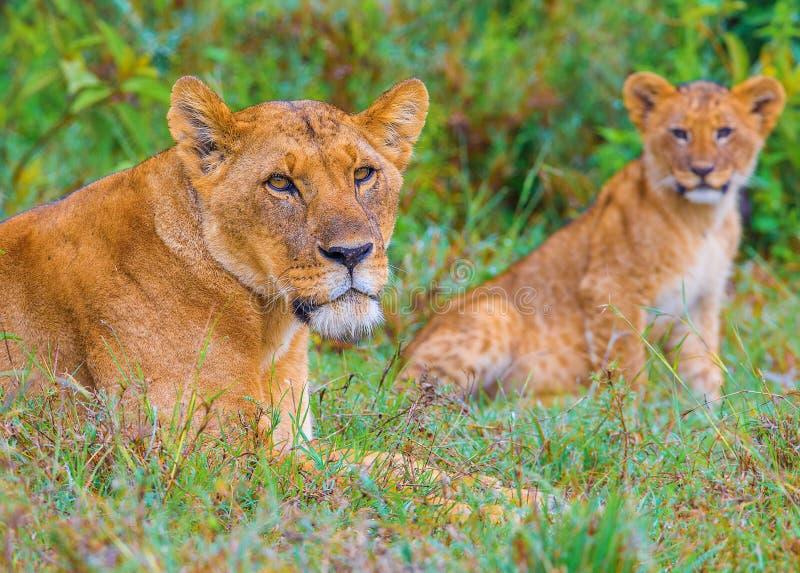 Download A família do leão foto de stock. Imagem de cubs, africano - 29843494