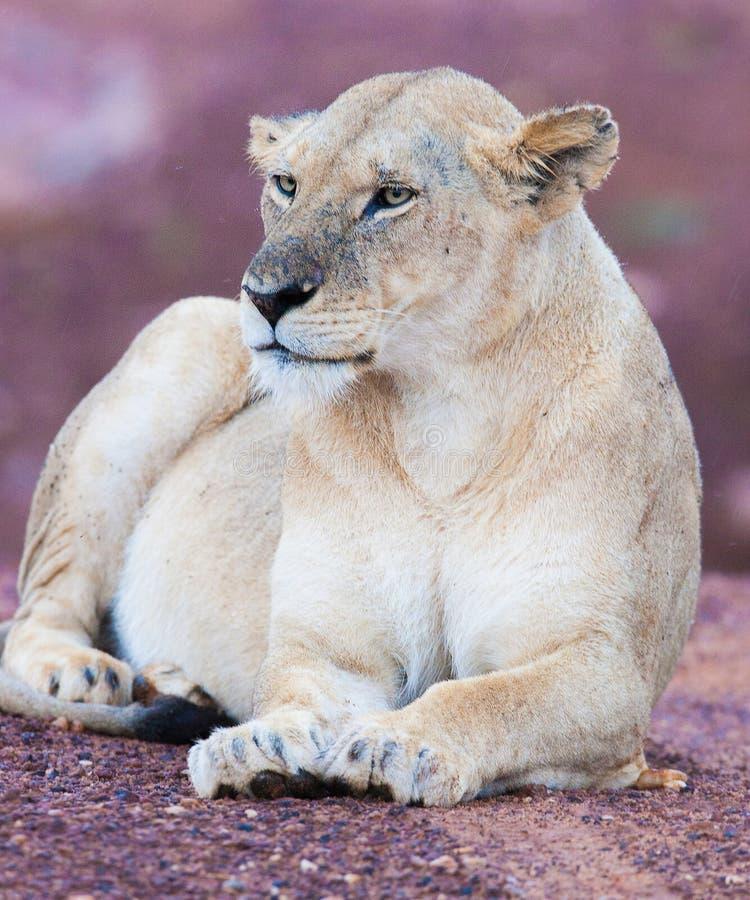 Download A família do leão foto de stock. Imagem de gato, criatura - 29843454