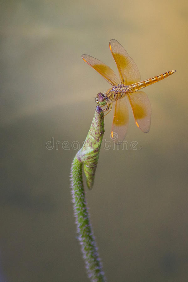 Uma libélula amarela empoleirada sobre uma planta foto de stock