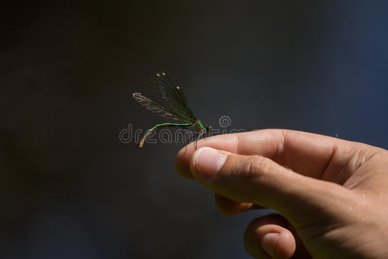 Uma libélula azul bonita que senta-se em uma mão perto do rio fotografia de stock royalty free