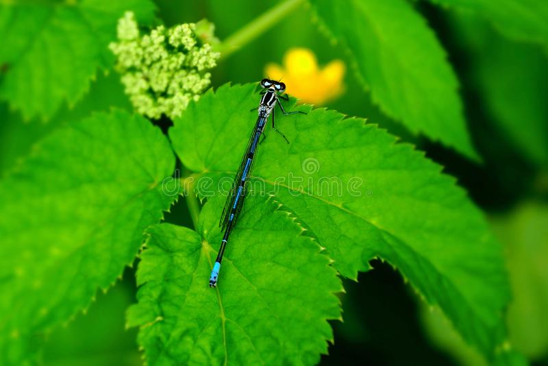 Uma libélula azul pequena senta-se nas folhas verdes da planta foto de stock