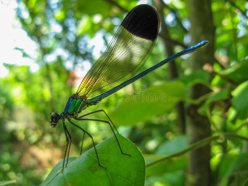 Uma libélula colorida na planta Close up de uma libélula que senta-se em uma folha foto de stock royalty free