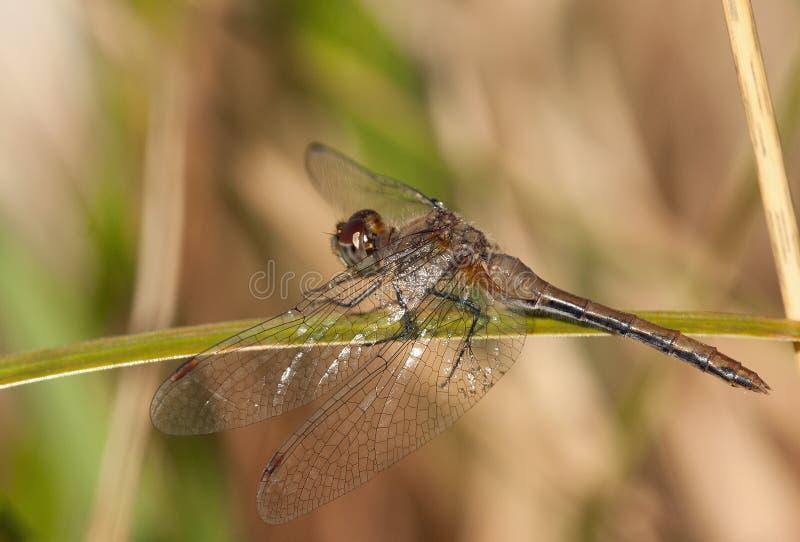 Uma libélula de vagueamento do planador descansa no sol em uma folha do carriço fotos de stock
