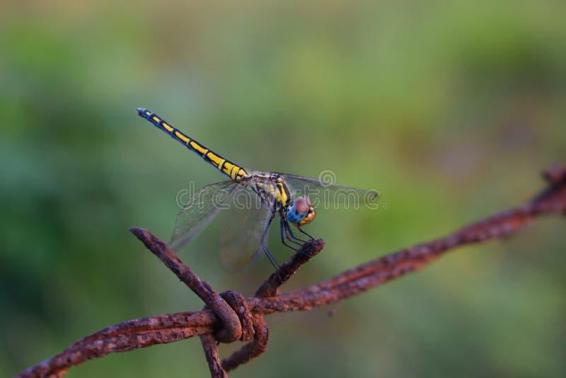 Uma libélula em uma cerca foto de stock royalty free