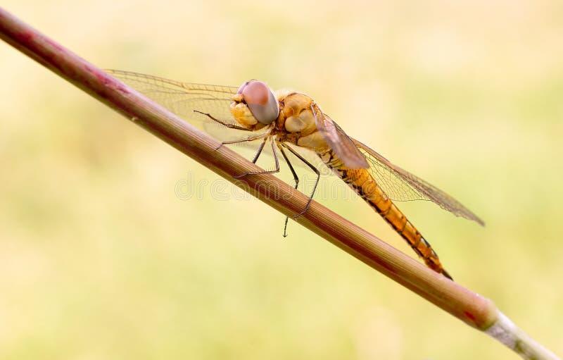 Uma libélula na luz da natureza imagem de stock