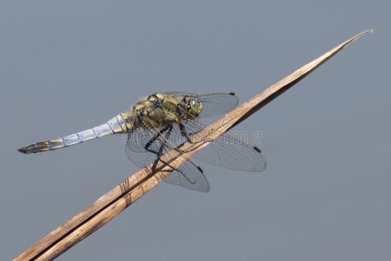 Uma libélula que adere-se a uma costa de lingüeta fotos de stock royalty free