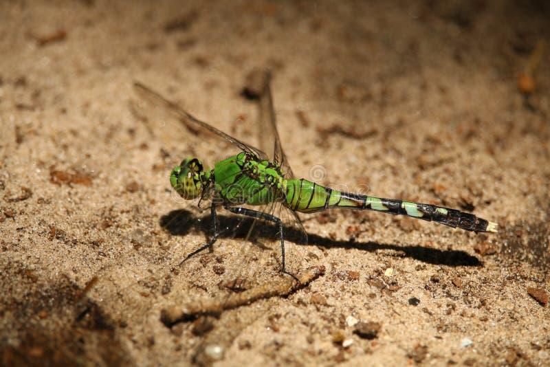 Uma libélula verde imagens de stock