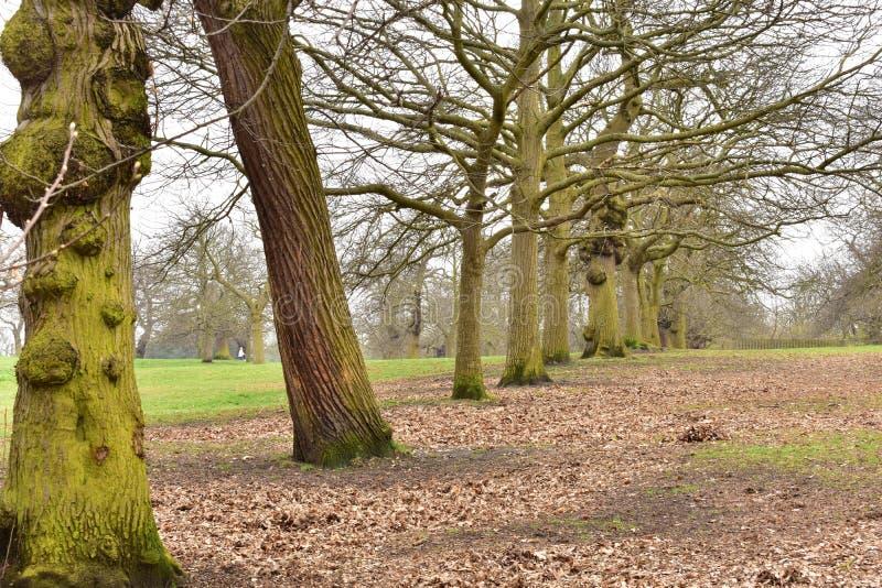 Uma linha de carvalhos no parque de Greenwich imagens de stock
