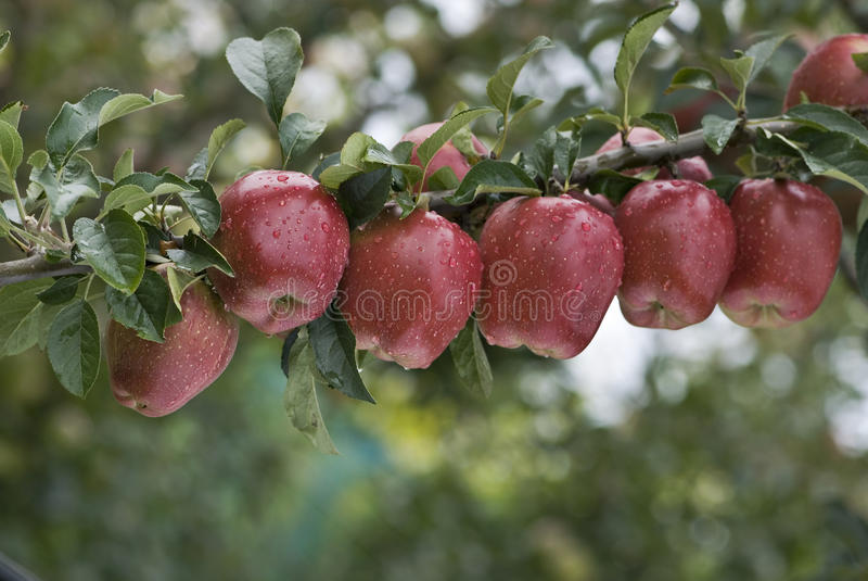 Uma linha de maçãs foto de stock royalty free