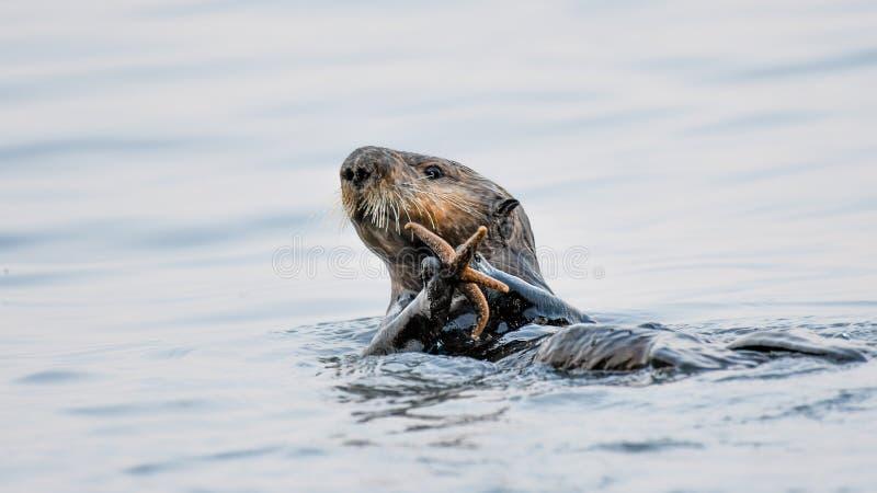 Uma lontra de mar trava e come uma estrela do mar em Alaska central sul imagens de stock royalty free