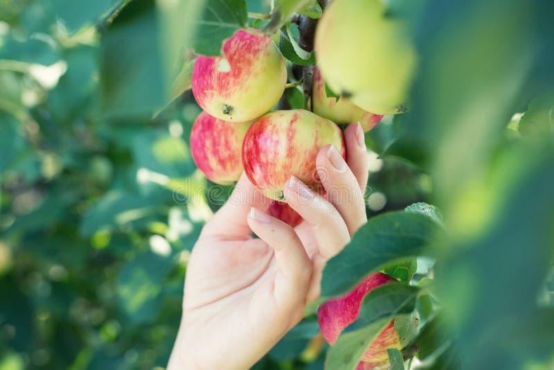Uma mão da mulher que escolhe uma maçã madura vermelha da árvore de maçã fotos de stock