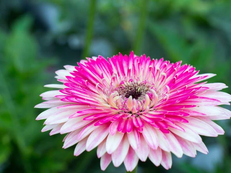 Uma margarida cor-de-rosa imagens de stock