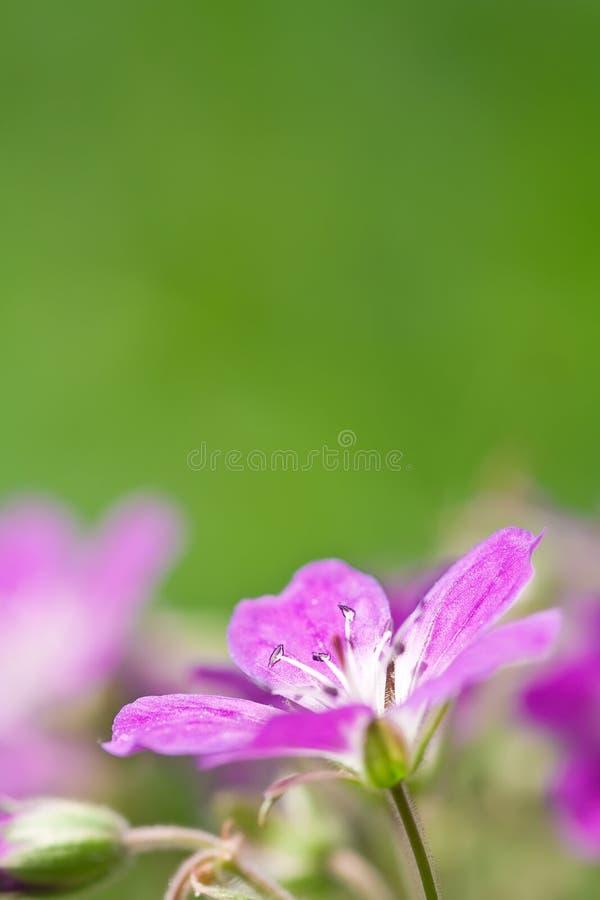 Uma margarida violeta foto de stock