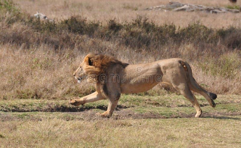 Uma matança do leão de uma zebra grevy 1 foto de stock royalty free