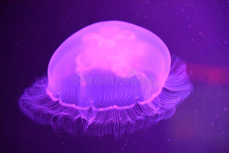 Uma medusa fotos de stock royalty free