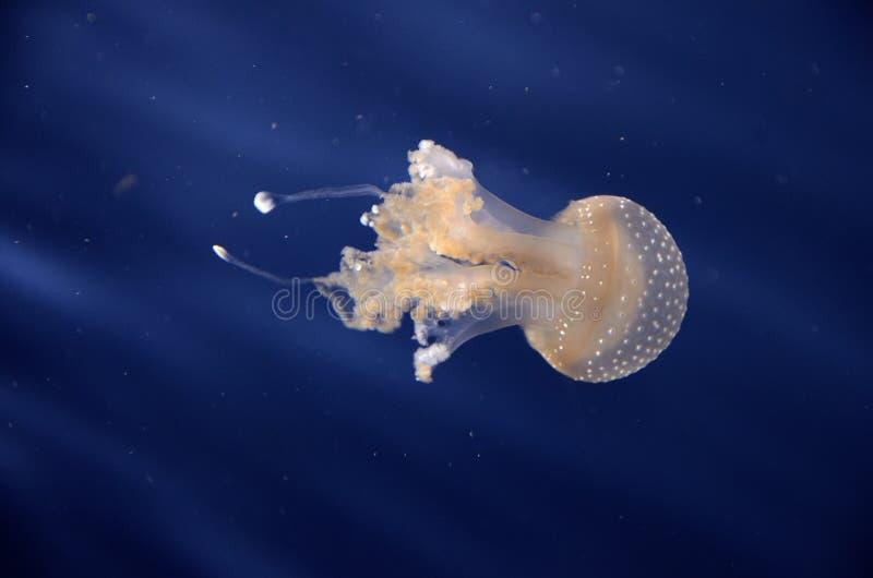 Uma medusa no aquário, a luz do fishbowl faz a laranja do olhar das medusa foto de stock