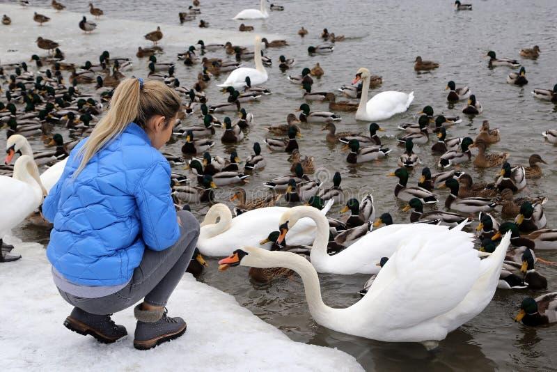 Uma menina alimenta aves aquáticas na costa de um lago no inverno fotos de stock royalty free