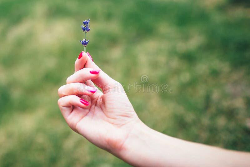 Uma menina com o tratamento de mãos cor-de-rosa que guarda um ramo da alfazema imagem de stock royalty free