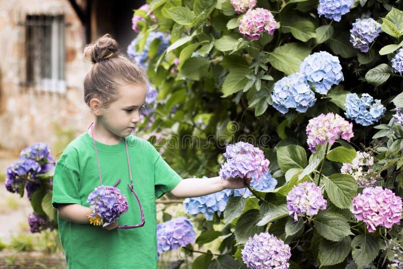 Uma menina com quatro anos escolhe flores de uma grande planta da hortênsia fotos de stock royalty free