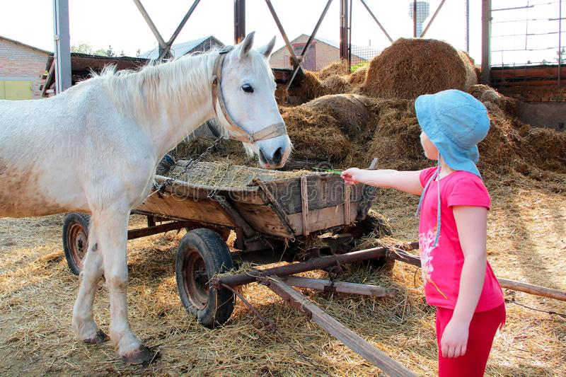 Uma menina na roupa cor-de-rosa e em uma Panamá alimenta um cavalo branco pelo feno perto de um carro de madeira velho fotografia de stock royalty free