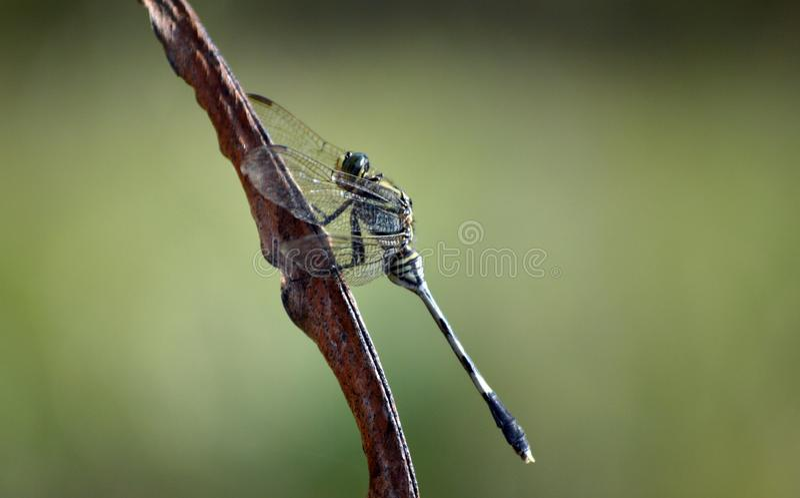 Uma mosca do dragão verde na folha marrom da banana foto de stock